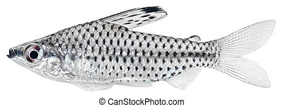 Spotted Headstander fish isolated in white background....