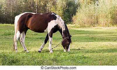 Spotted horse grazes in a green meadow