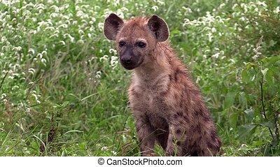 Spotted hyaena (hyena) cub. - A spotted hyaena (hyena) cub...