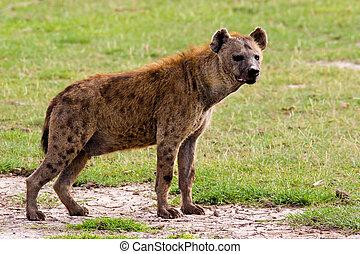 Spotted Hyena - A spotted hyena. Amboseli National Park,...