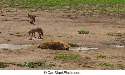 Spotted Hyena and Golden Jackals in Ngorongoro Conservation...