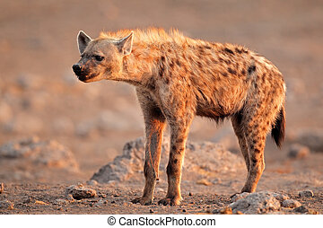 Spotted hyena (Crocuta crocuta), Etosha National Park,...