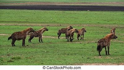 Spotted Hyena, crocuta crocuta, Group, Masai Mara Park in...