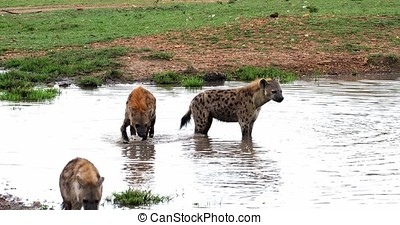Spotted Hyena, crocuta crocuta, Group standing at Pond,...