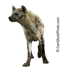 Spotted hyena (Crocuta crocuta). Isolated