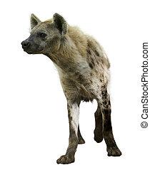 Spotted hyena (Crocuta crocuta). Isolated