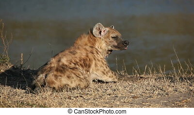 Spotted hyena (Crocuta crocuta), South Africa