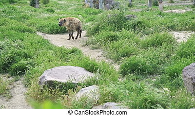 Spotted hyena - Crocuta crocuta. Wild Spotted, Laughing...