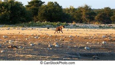 Spotted hyena, Etosha, Namibia Africa safari wildlife -...