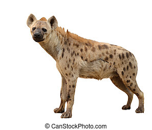 spotted hyena isolated on white background