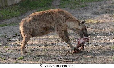 Spotted hyena, its scientific name is Crocuta crocuta