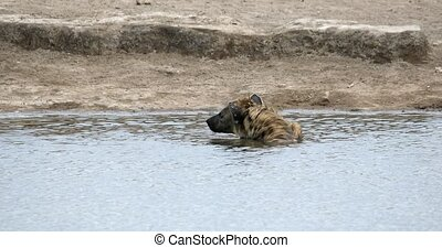 Spotted hyena bathing in waterhole, Etosha National Park, Namibia, Africa safari wildlife