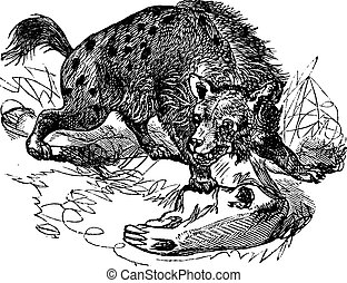 Spotted Hyena or Crocuta crocuta vintage engraving - Spotted...