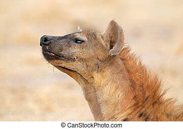 Spotted hyena - Portrait of a spotted hyena (Crocuta...