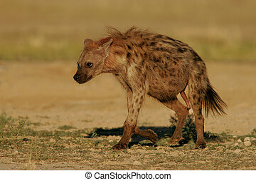 Spotted Hyena - Spotted hyena,  Kalahari, South Africa