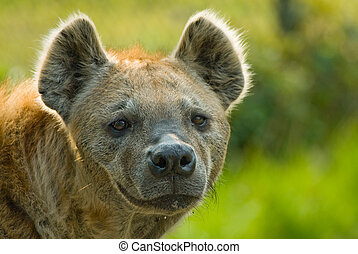 spotted hyena - Close-up of a spotted hyena