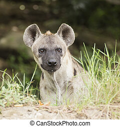 Spotted Hyena watching