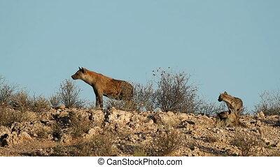 Spotted hyenas (Crocuta crocuta) at their den, Kalahari...