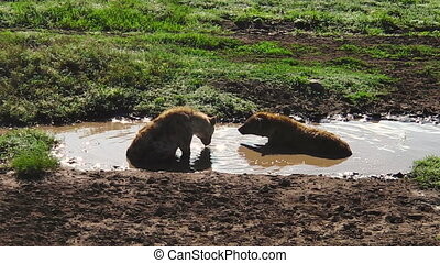 Spotted Hyenas of Ndutu drinking - Spotted Hyenas drinking...