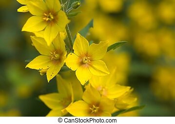 Spotted Loosestrife Blossoms - Blossoms of the spotted...