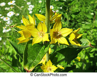 Spotted loosestrife (Lysimachia punctata) - detail of...