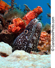 Spotted Moray Eel tucked inside the reef