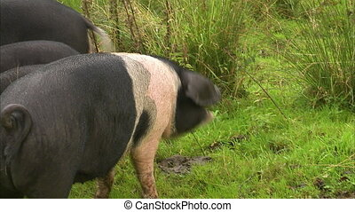 Spotted pigs eating apples - A medium shot of spotted pigs...