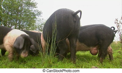 Spotted pigs eating on grass - Steady worm's eye view shot...