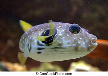 Spotted Puffer Fish - The White-Spotted puffer, Arothron ...