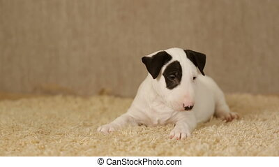 Spotted puppy of bull terrier - Cute puppy of bullterrier on...