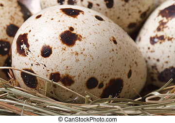 spotted quail eggs in nest close up
