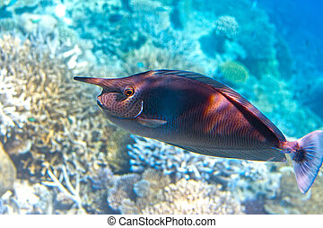Spotted rhino fish over a coral reef (Naso brevirostris)