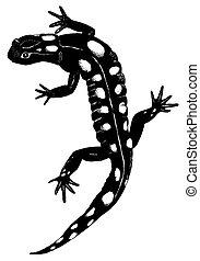 Spotted Salamander - Ambystoma maculata