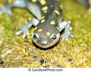 Spotted Salamander (Ambystoma maculatum)