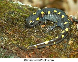 Spotted Salamander Illinois Wildlife - Spotted Salamander...