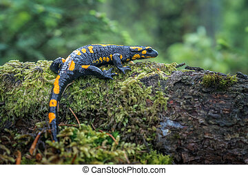 salamander - Spotted salamander in Carpathian mountains