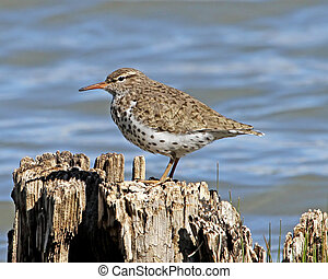 Spotted Sandpiper 1 - Spotted Sandpiper (Actitis macularia)...