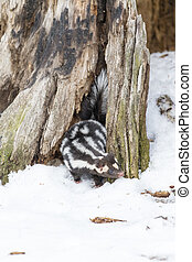 Spotted Skunk In The Snow - A spotted skunk hunts for prey...