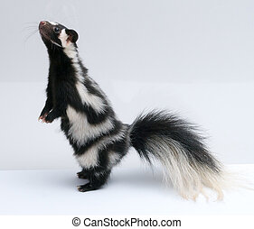 Spotted Skunk, Standing Up on White Background - Spotted...