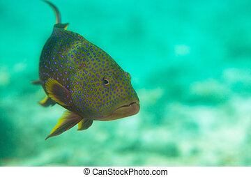 Spotted sweetlips