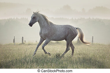 Spotted white horse running through the meadow - Spotted...