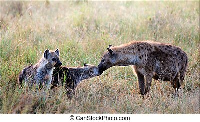 Spotty hyena with cubs. - The spotty hyena licks a cub. Two...