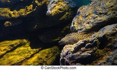 Spotty moray eel, Gymnothorax favagineus hiding between rocks in an aquarium.