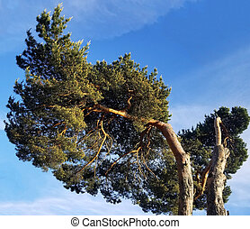 sprawling pine on a background of blue sky. Bottom view