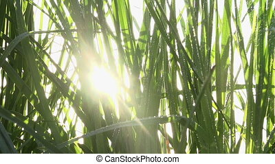 Spray in the Tall Grass - Sunlight streaming through the...