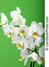 Spray of fresh white Cymbidium orchids on a vertical green background