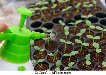 Spray water to Sapling on Nursery tray