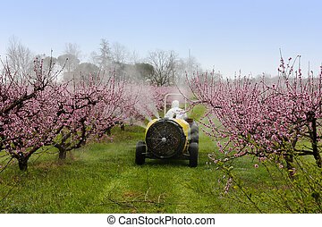 agricultural work, cask tractor sprays a chemical treatment in the orchard of peach with pink flowers