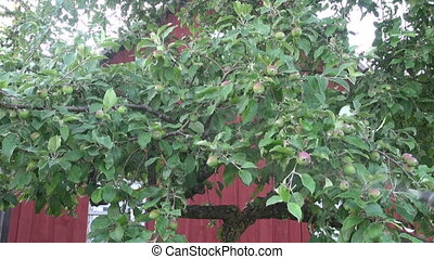 spraying summer apple tree with fungicide