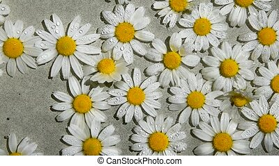 Spraying the Camomile Flowers, watering white daisy flower ...